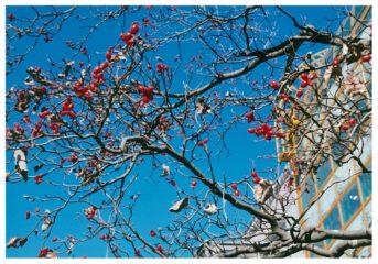 今月の花木 ハナミズキ