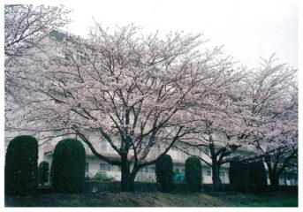 今月の花木 サクラ