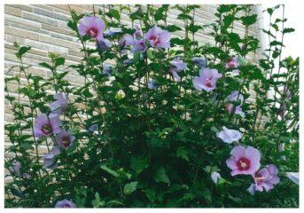 今月の花木 ムクゲ