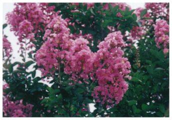 今月の花木 サルスベリ