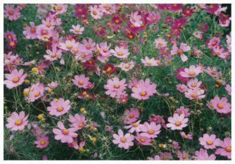 今月の花木 コスモス